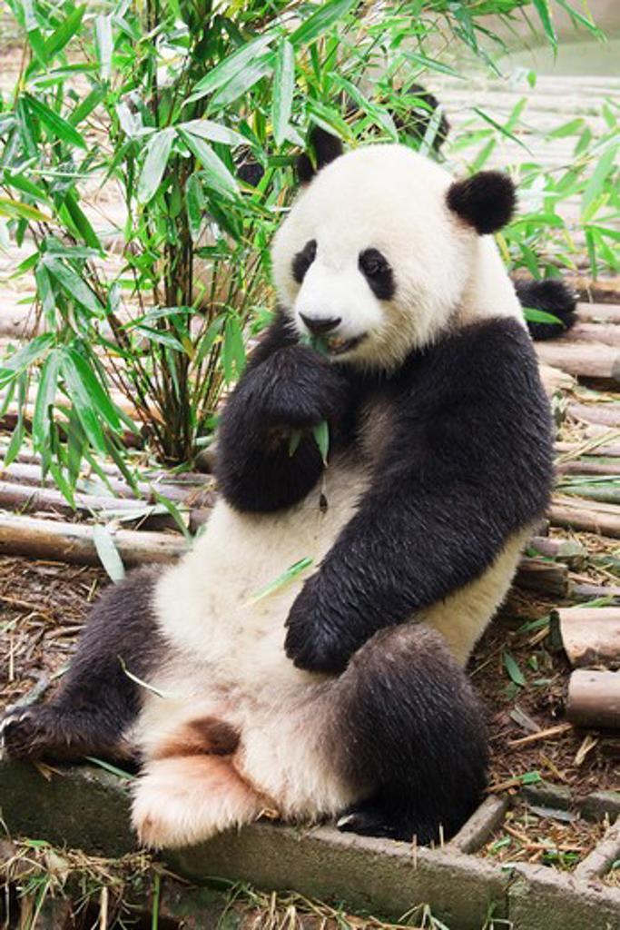 Giant panda (Ailuropoda melanoleuca), Chengdu Panda Base Of Giant Panda Breeding, Chengdu, Sichuan Province, China : Stock Photo