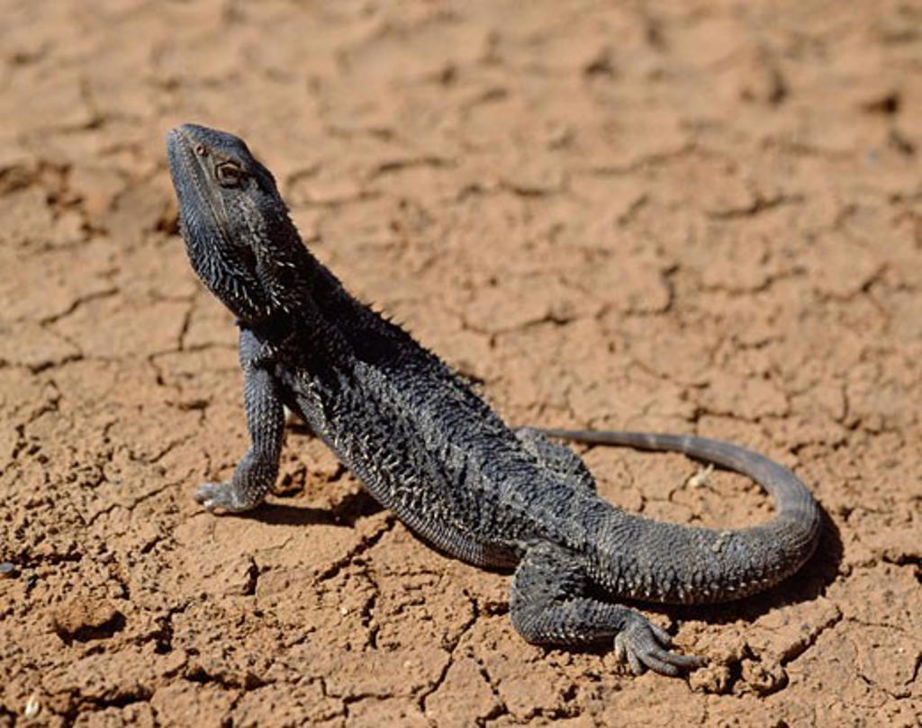 Stock Photo: 1274-221 Bearded Dragon Northern Territory Australia
