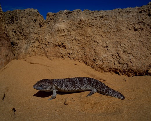Australia, Western Australia, Nambung National Park, Pinnacles Desert, close up of Stubby-Tailed Skink on sand : Stock Photo