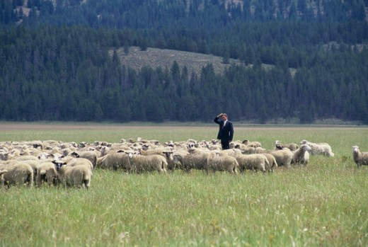Businessman standing in a field with sheep : Stock Photo