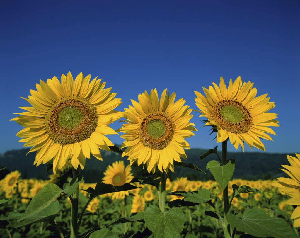 Stock Photo: 1288-1447 Close-up of sunflowers in a field