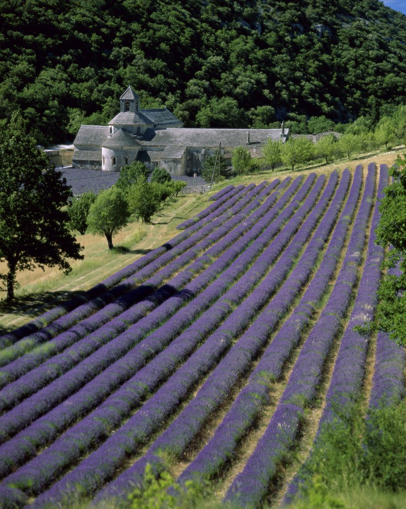 Stock Photo: 1288-1625 High angle view of a field of lavender, Abbaye de Senanque, Gordes, France