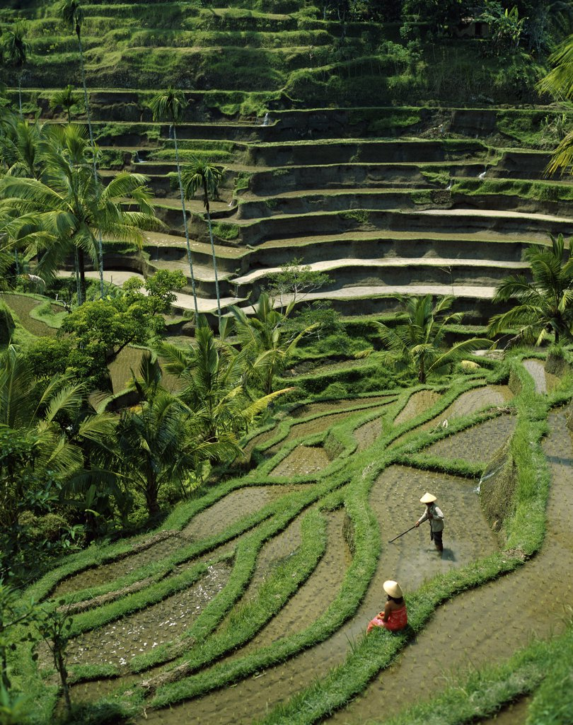 High angle view of rice fields, Bali, Indonesia : Stock Photo
