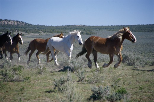 Five horses galloping on a landscape, Sombrero Ranch, Boulder, Colorado, USA : Stock Photo