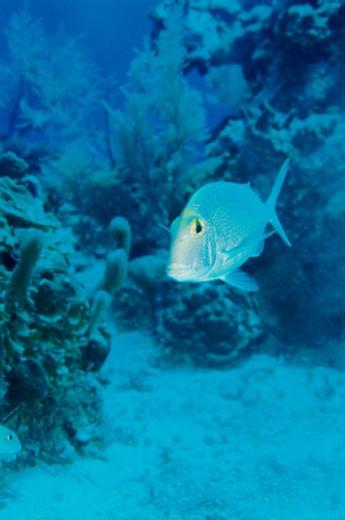 Stock Photo: 1301-239 Close-up of a Saucereye Porgy fish swimming underwater, Belize (Calamus calamus)