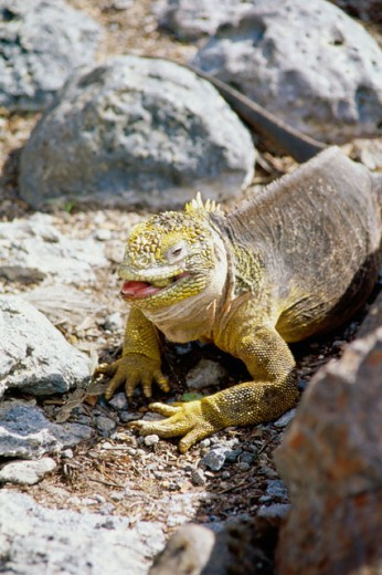 Stock Photo: 1301-305 High angle view of a Galapagos Land Iguana on a rock, Galapagos Islands, Ecuador (Conolophus subcristatus)
