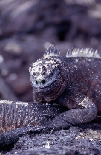 Stock Photo: 1301-326 Close-up of a Marine Iguana, Galapagos Islands, Ecuador (Amblyrhynchus cristatus)