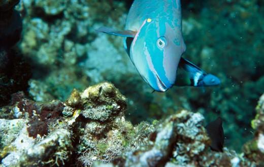 Stock Photo: 1301-350 Close-up of a Stoplight Parrotfish swimming underwater (Sparisoma viride)