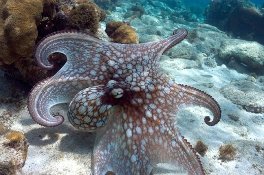Stock Photo: 1301-505 Caribbean Octopus