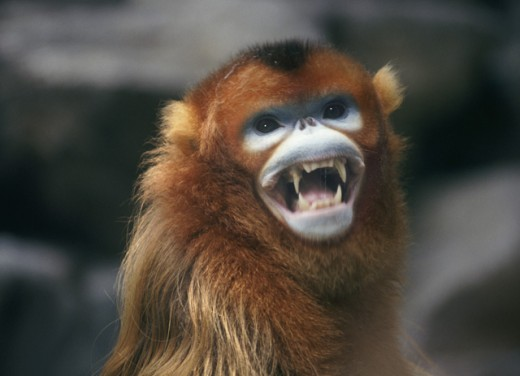 Close-up of a Golden Monkey : Stock Photo