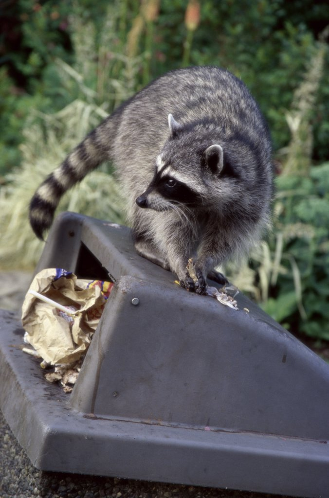 Stock Photo: 1307-226 Close-up of a raccoon on a garbage bin, Stanley Park, Vancouver, British Columbia, Canada (Procyon lotor)
