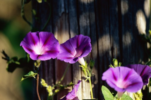 Close-up of Morning Glory flowers : Stock Photo