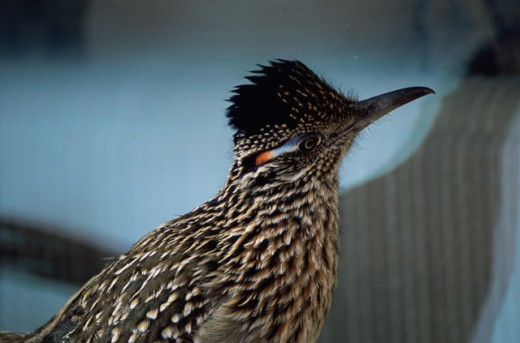 Close-up of a roadrunner : Stock Photo