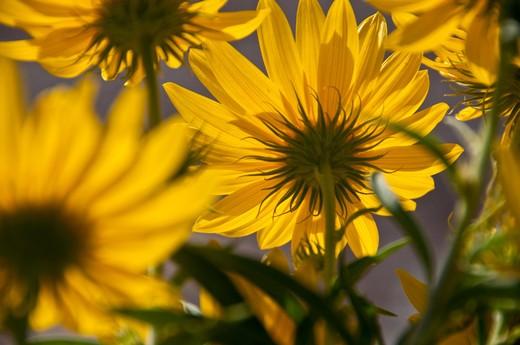 Stock Photo: 1311-2552 Close-up of Sunflowers (Helianthus annuus), New Mexico, USA