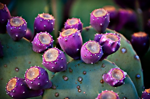 USA, Northern New Mexico, close up of Prickly Pear Cactus, Prickly Pear Cactus is usually found in states like Arizona and California, so it is oddity in Northern New Mexico : Stock Photo