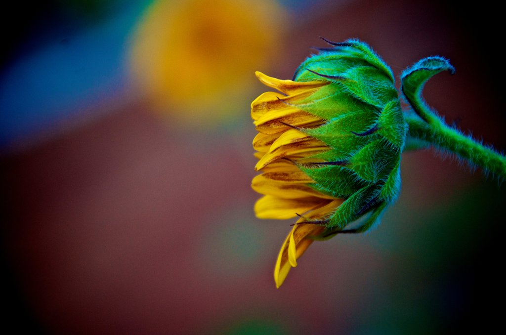 Stock Photo: 1311-2661 Late summer sunflower, New Mexico, USA