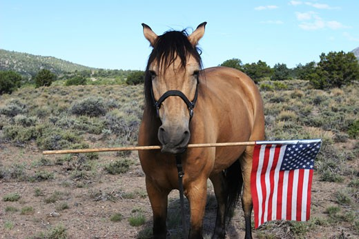 Horse holding an American flag : Stock Photo