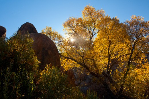 Autumnal trees with rock formations, Alabama Hills, Lone Pine, California, USA : Stock Photo