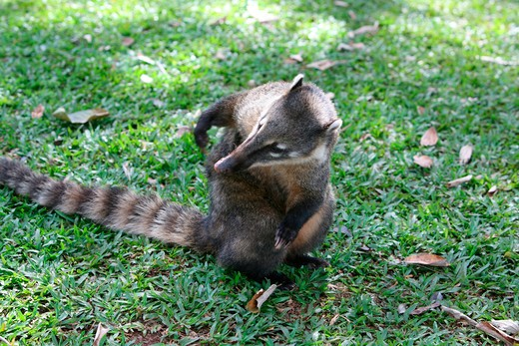 Stock Photo: 1317-1049 Close-up of a Ring-Tailed coati (Nasua nasua), Iguacu National Park, Argentina-Brazil Border