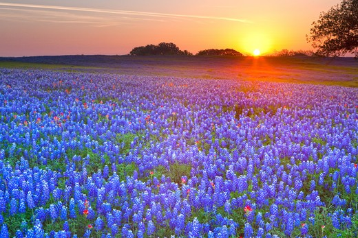 Texas bluebonnets (Lupininus texensis) in a field, Texas Hill Country, Texas, USA : Stock Photo