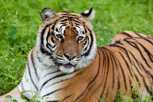 Stock Photo: 1317-379A Siberian tiger (Panthera tigris altaica) crouching on the grass