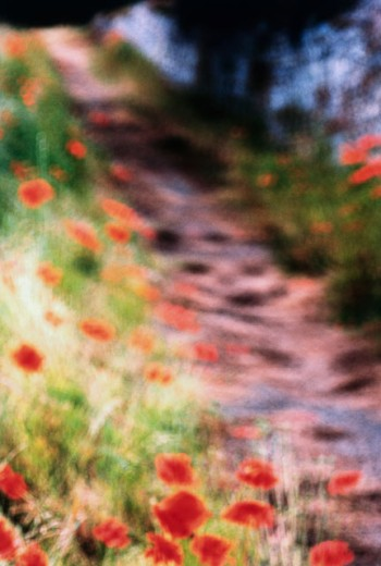 Stock Photo: 1318-1042 Close-up of flowers growing along a path
