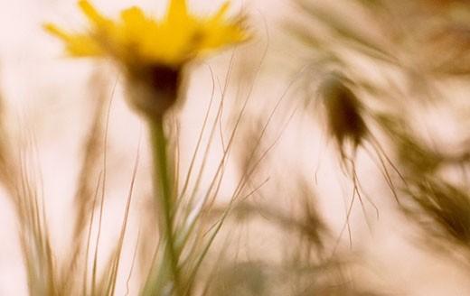 Close-up of a Catsear (Hypochaeris radicata) flowers : Stock Photo