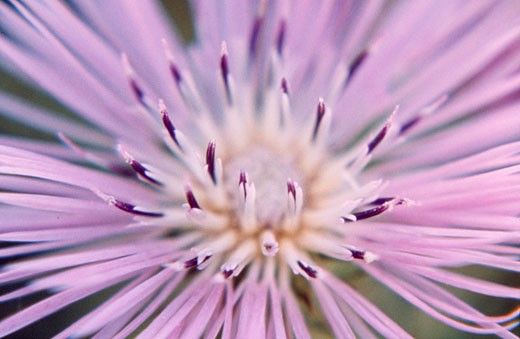 Close-up of a Thistle flower : Stock Photo