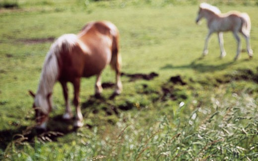 Haflinger horses grazing in a field : Stock Photo