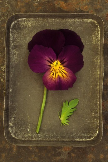 Single purple and yellow flower with one leaf of Pansy lying in tin lid on rusty metal sheet : Stock Photo