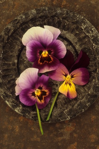 Three purple yellow and white flowers of Pansy or Viola tricolor lying in small ornate tin dish on rusty metal sheet : Stock Photo