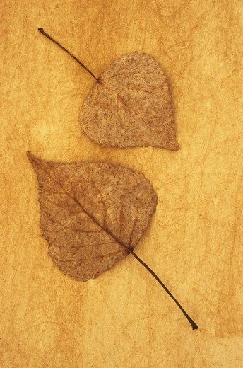 Stock Photo: 1318-1694 Close up of two mottled brown and white autumn leaves of Black poplar (Populus nigr) lying on rough background