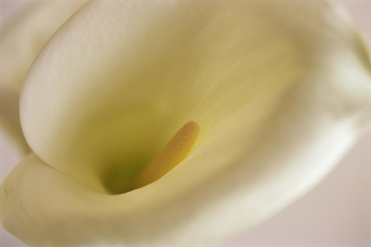 Stock Photo: 1318-314 Arum Lily