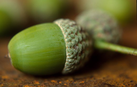 Close-up of two acorns : Stock Photo