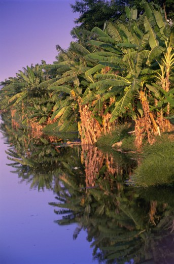 Stock Photo: 1321-433 Reflection of banana trees in water, Canal de Marapendi, Rio de Janeiro, Brazil