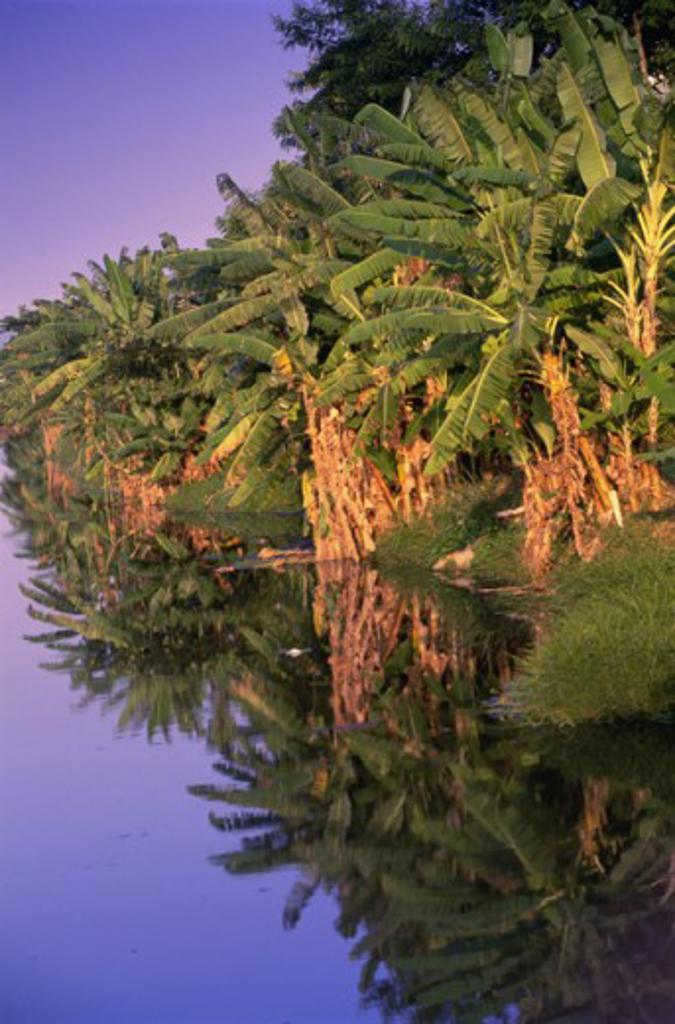 Reflection of banana trees in water, Canal de Marapendi, Rio de Janeiro, Brazil : Stock Photo