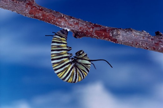 Stock Photo: 1322-338 Close-up of the caterpillar of a Monarch Butterfly hanging on a branch (Danaus plexippus)
