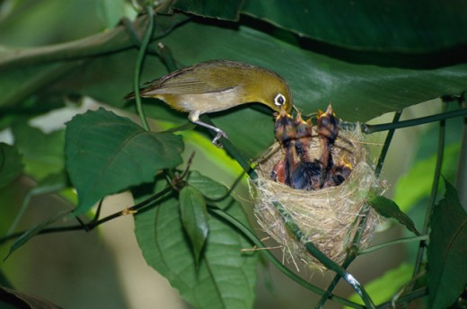 Stock Photo: 1322-342 Japanese White-Eyes
