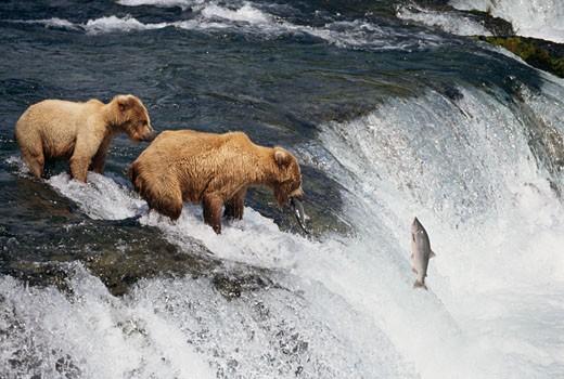 Stock Photo: 1322-547 Brown bears (Ursus arctos) catching salmons in a waterfall, Alaska, USA