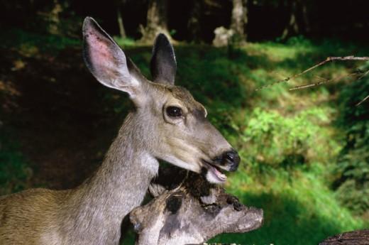 Close-up of a Mule Deer, Oregon, USA (Odocoileus hemionous) : Stock Photo