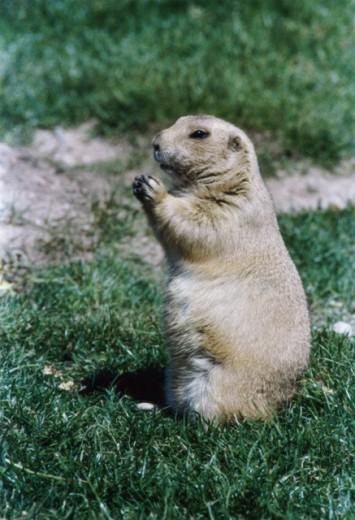 Prairie dog standing : Stock Photo