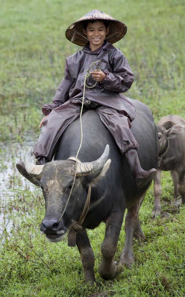 Boy riding a water buffalo (Bubalus bubalis) in the field, Vietnam : Stock Photo