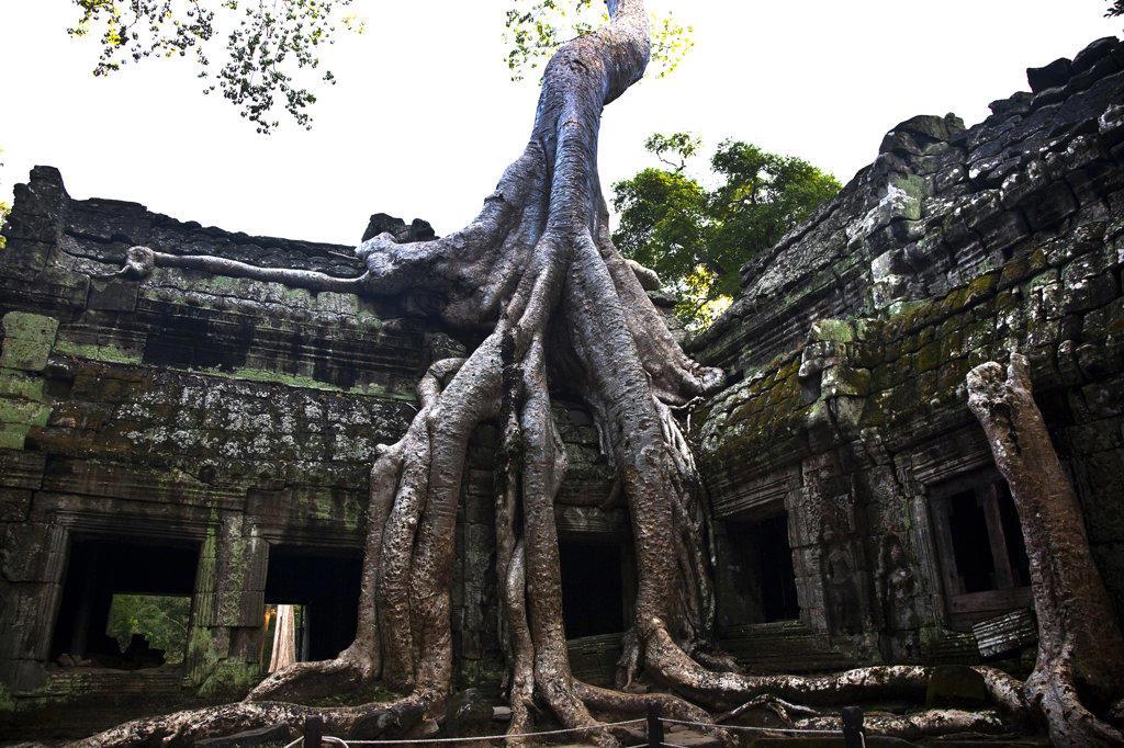 Tree in a temple, Beng Mealea, Angkor Wat, Angkor, Cambodia : Stock Photo