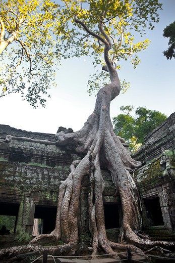 Tree in a temple, Beng Mealea, Angkor Wat, Angkor, Cambodia : Stock Photo
