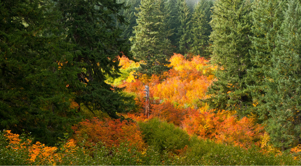 Maple trees in a forest, Oregon, USA : Stock Photo