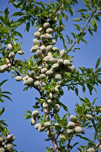 Stock Photo: 1323-2100 Almonds growing on tree, Chico, Butte County, California, USA