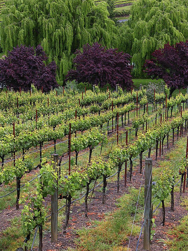 High angle view of a vineyard, Napa Valley, California, USA : Stock Photo