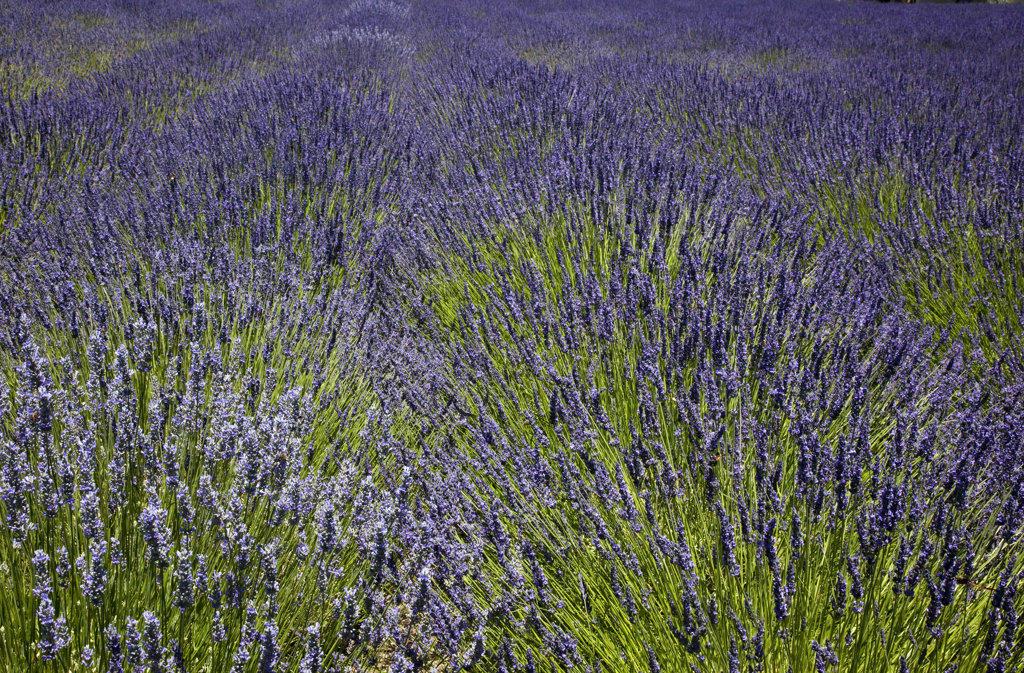 Lavender crop in the field, San Francisco, California, USA : Stock Photo