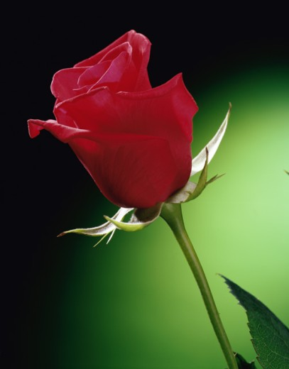 Stock Photo: 1329R-197 Close-up of a rose