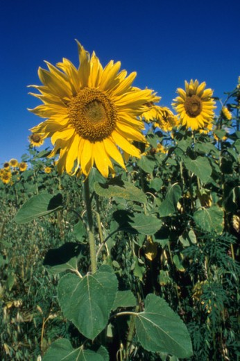 Sunflowers growing in a field : Stock Photo